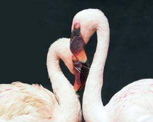 flamingo-1388341_640